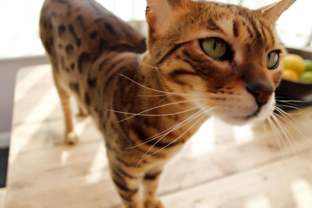 Самая большая кошка в мире: кто же она?