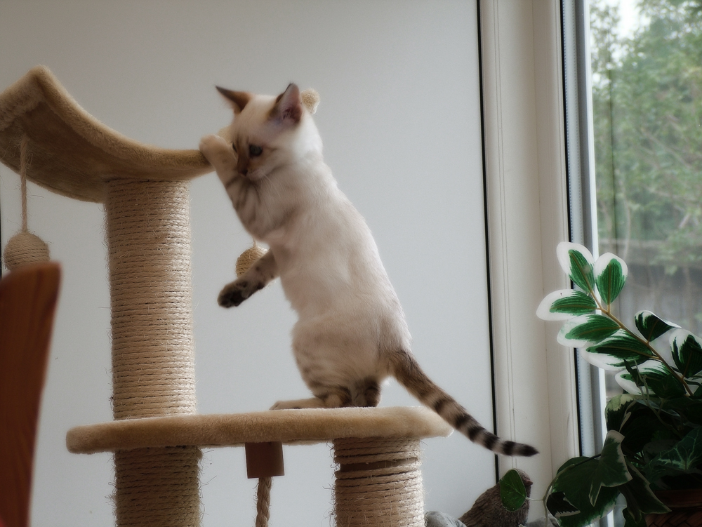 Бенгальская кошка: фото котят и взрослых животных