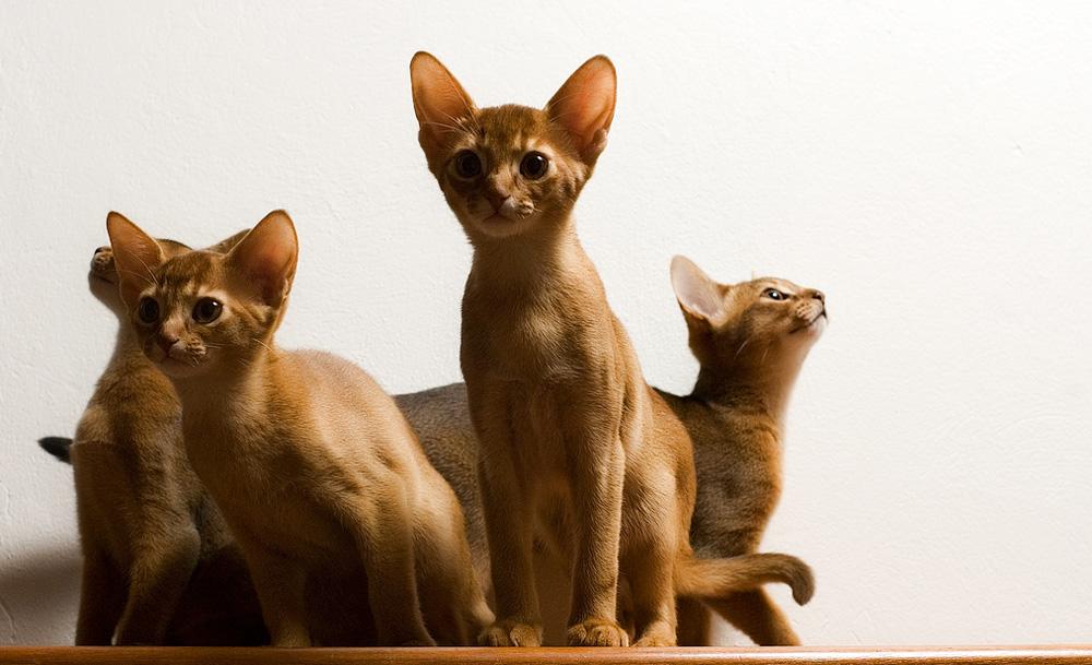 Абиссинская кошка: фото и описание породы