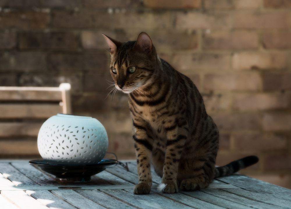 Бенгальская кошка: отзывы владельцев