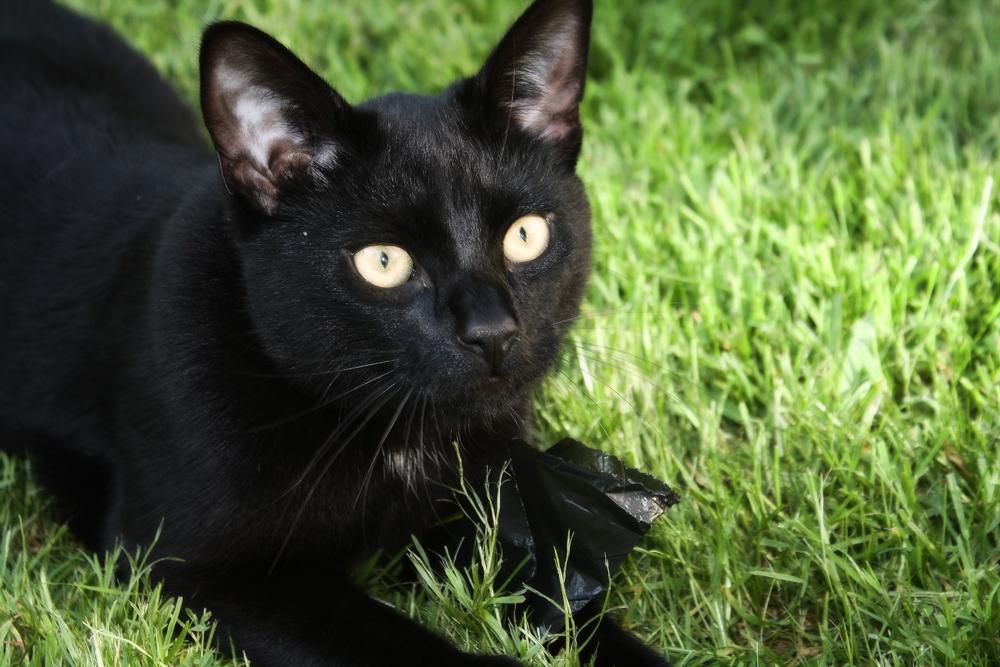 Кошка Бомбейская - фото «черного сокровища»