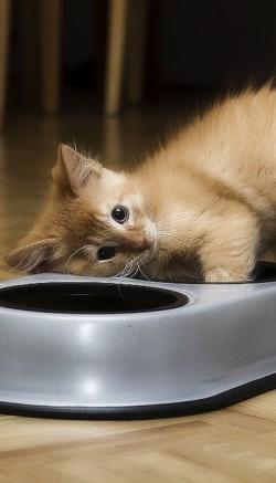 Все о кормах для кошек класса Холистик