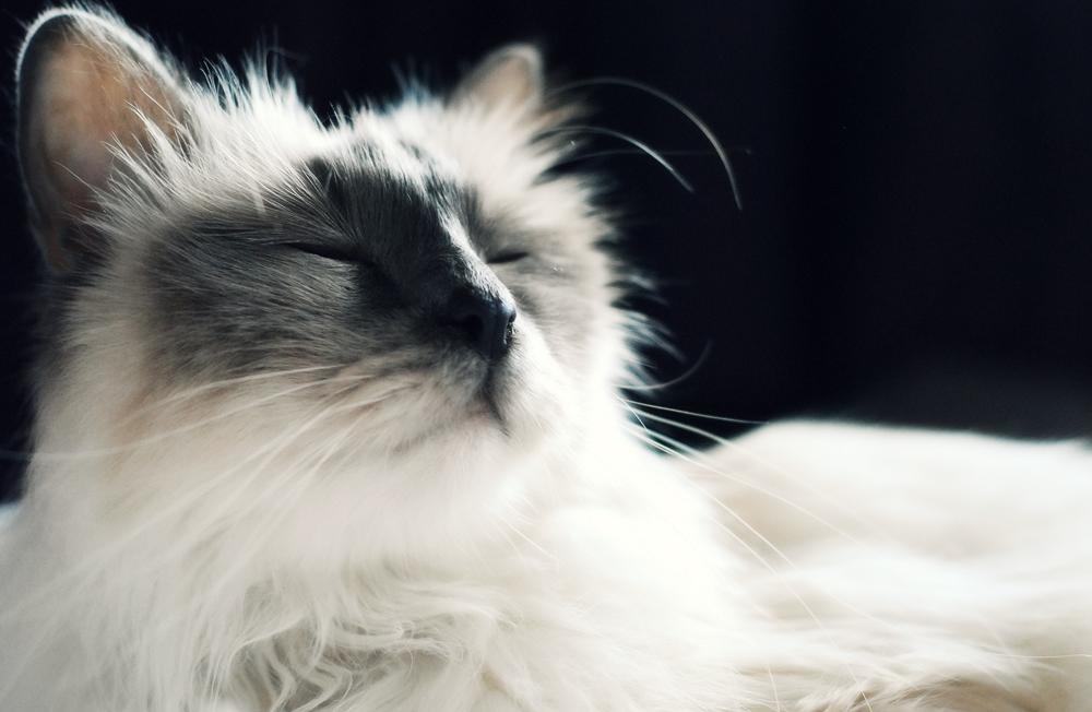 ФИП у кошек: что это за заболевание?