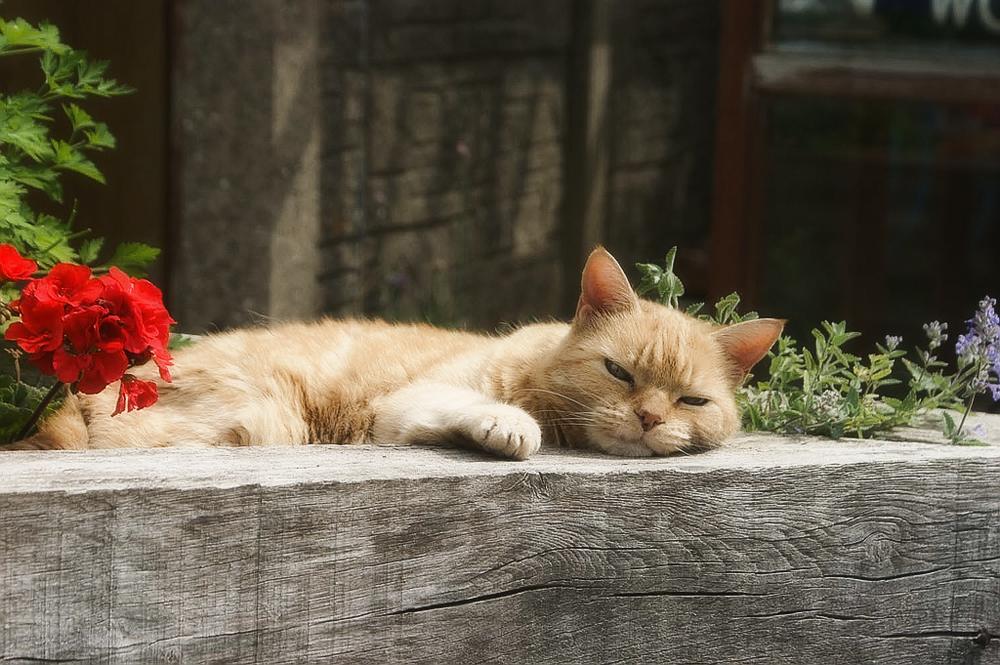 Что такое кошачья мята и для чего она нужна?