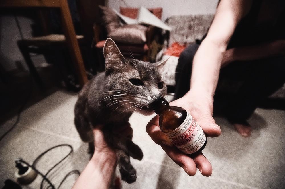 Кто любит валерьянку коты или кошки
