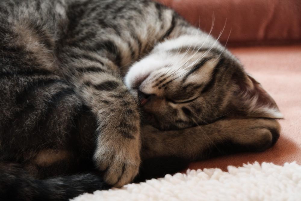 Почему кошки и коты мурлыкают?