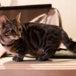 Манчкин - кошка с короткими лапами