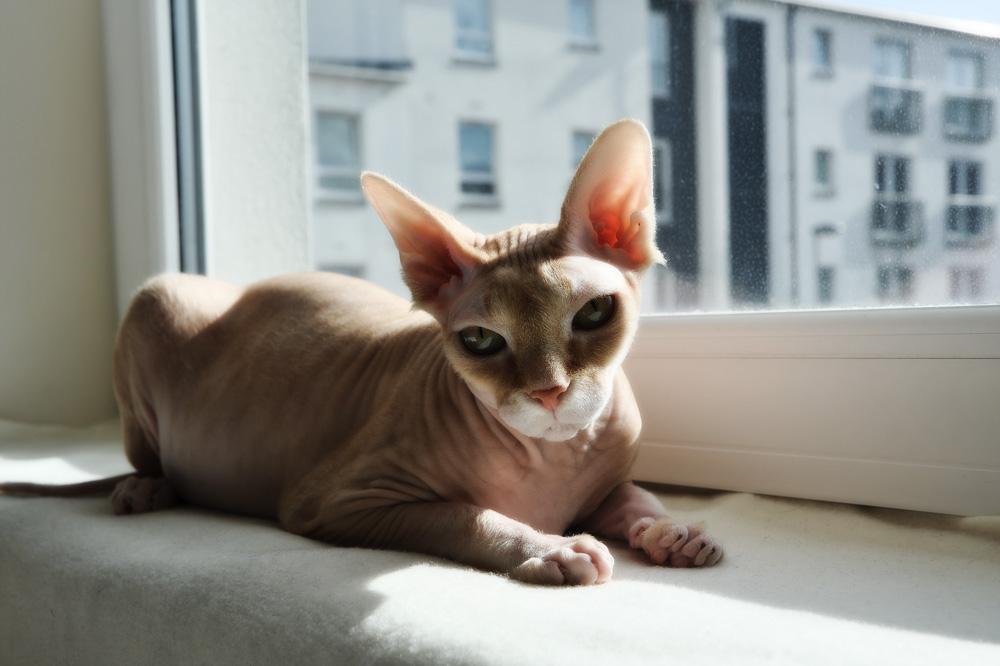 Самые_известные_породы_кошек_Zoheb_Baig