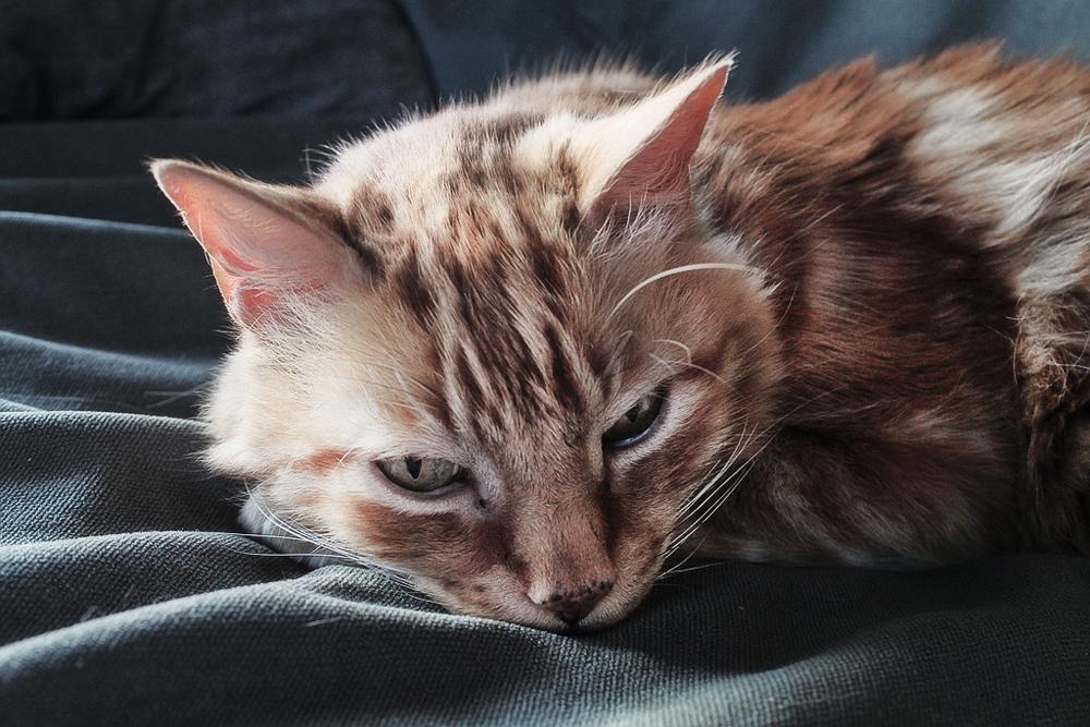 Фоспренил для кошек: инструкция по применению