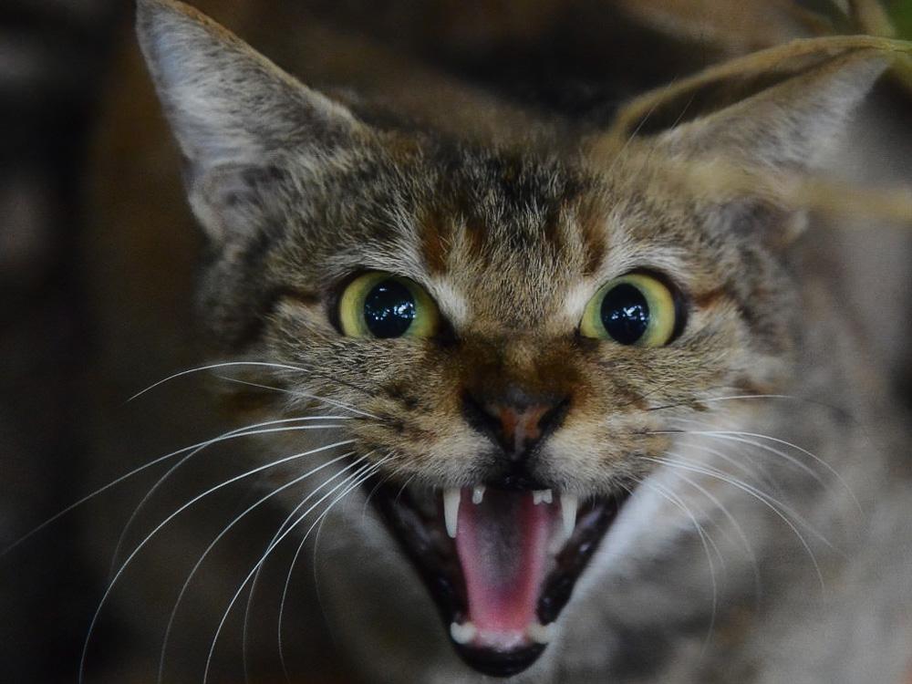 Что делать, если кошка орет и хочет кота?