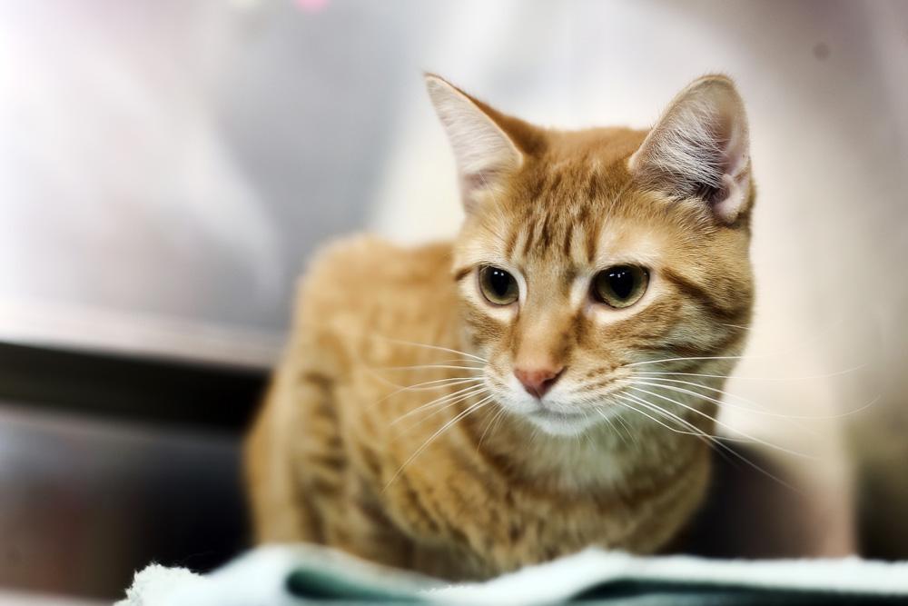 Глобфел-4 для кошек: инструкция по применению