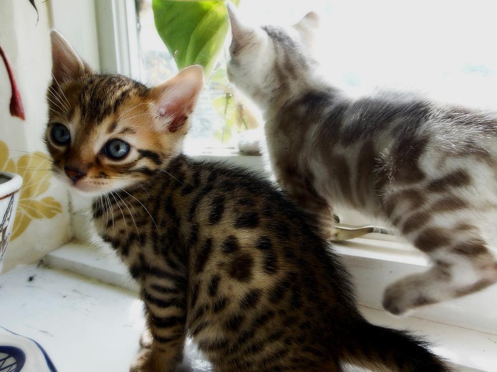 Как определить породу кошки по внешним признакам