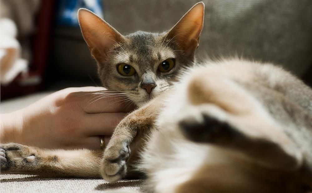 Как успокоить беременную кошку