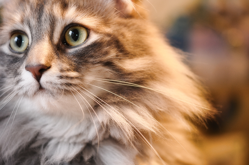 Кошка кашляет, как будто подавилась: причины и лечение