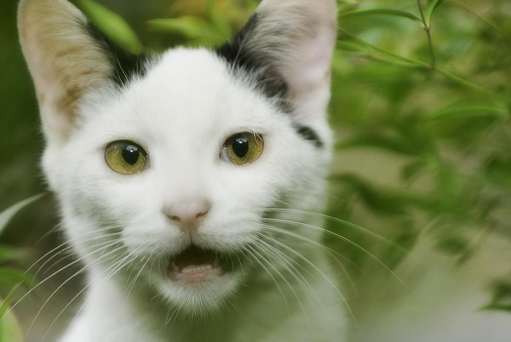 Почему_кошка_постоянно_мяукает_и_орет_Frank_Han