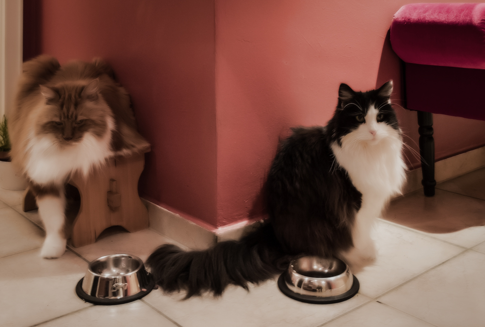 Сколько сухого корма нужно кошке в день?