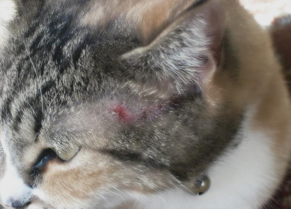Аллергия на корм у кошек: симптомы