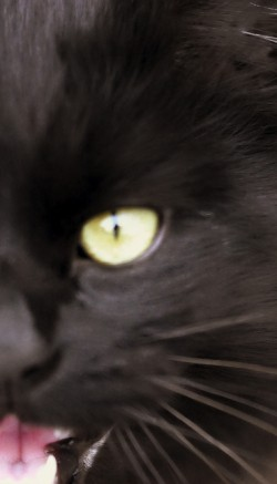 Нонестрон: инструкция по применению для кошек и котов