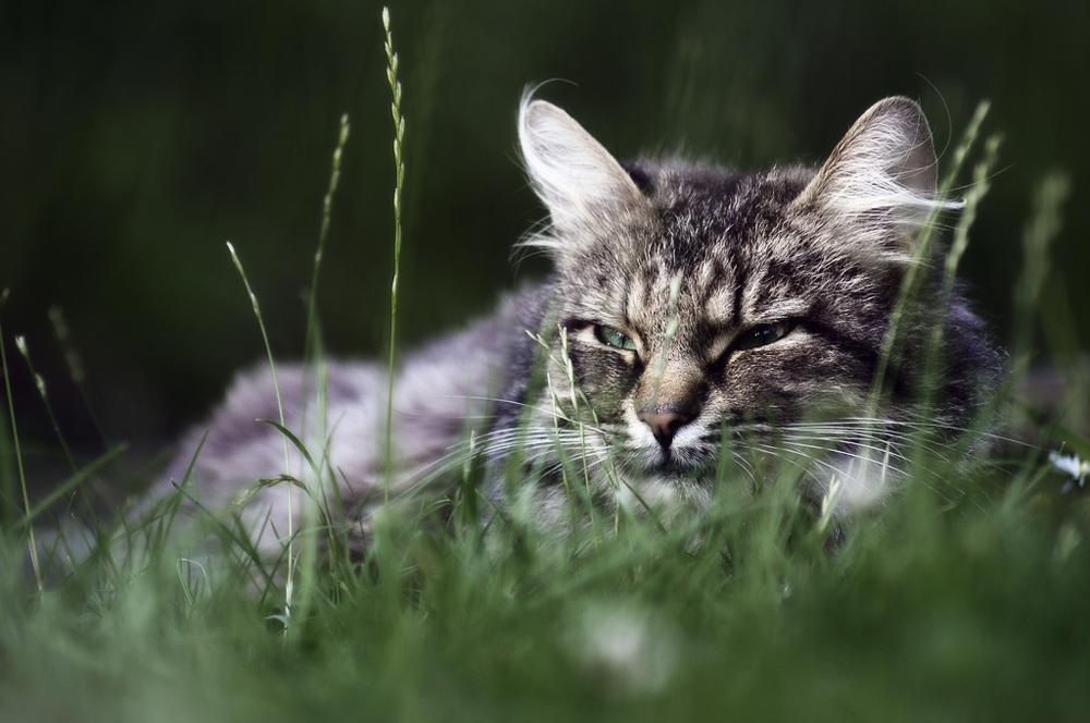 Альбен С: инструкция по применению для кошек