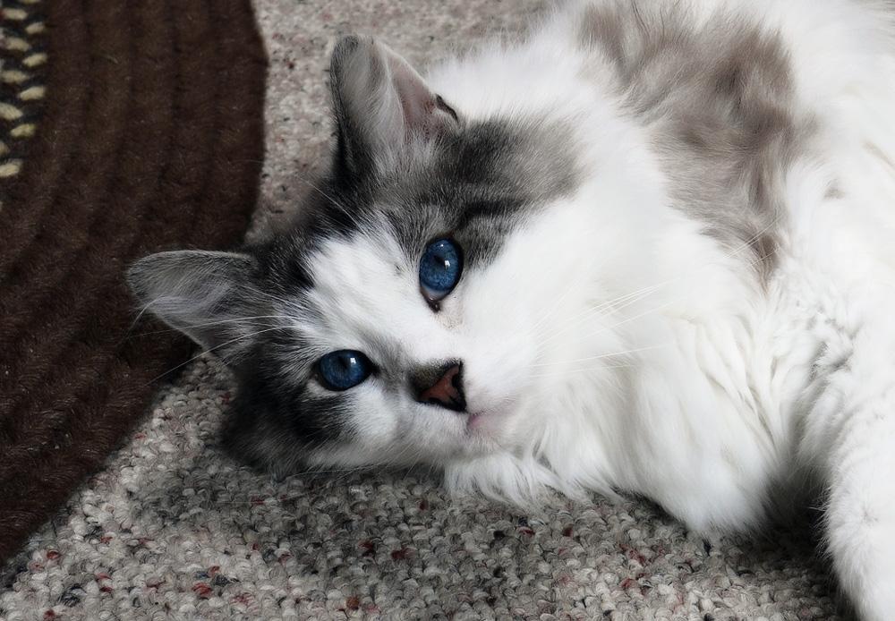 Аллергия у кошек фото симптомы