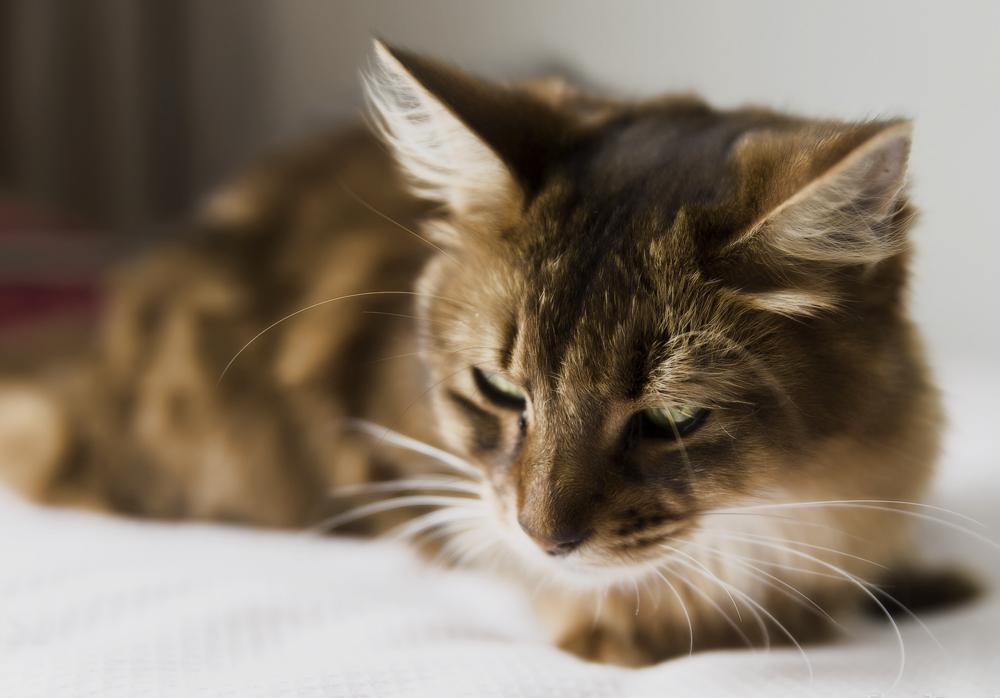 Нороклав для кошек: инструкция по применению