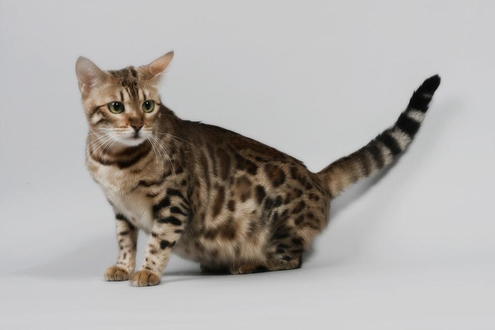 Беременность у кошки: все, что должен знать хозяин