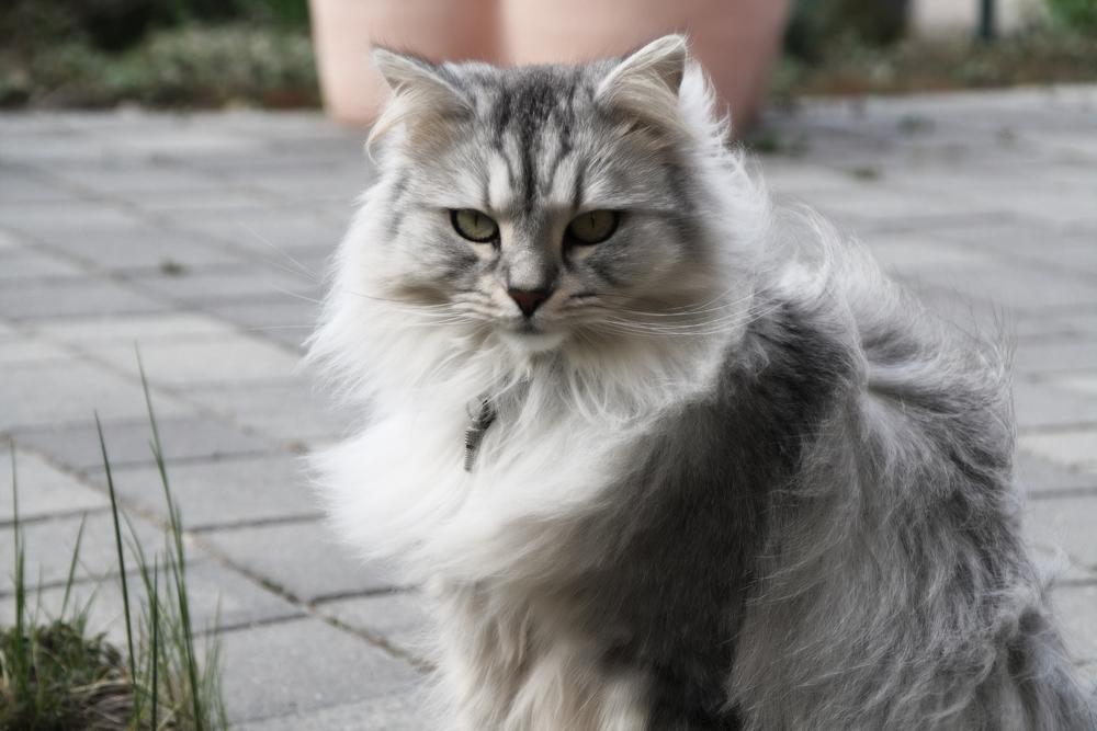 Самые большие кошки