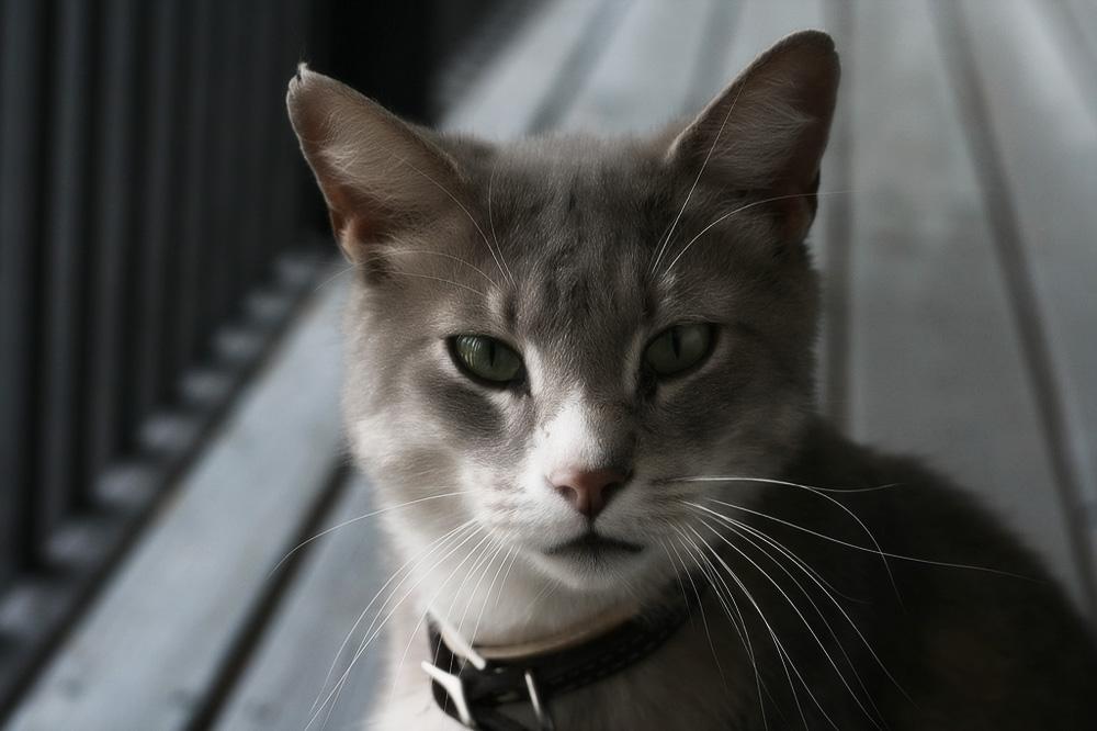 Как вывести блох у кошки быстро и эффективно