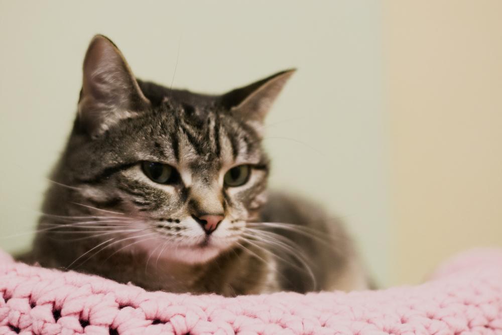 Мастопатия у кошек: диагностика, симптомы и лечение