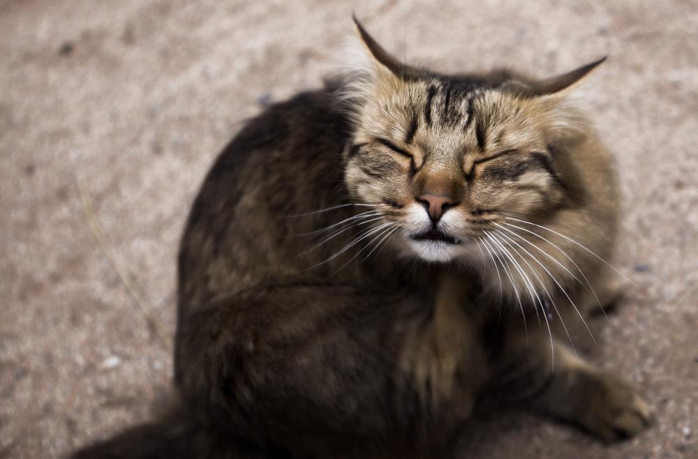 Как размножаются блохи у кошек и как бороться с ними
