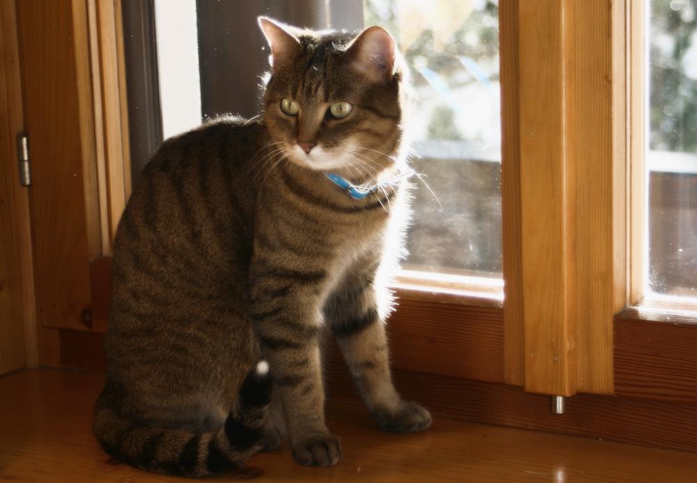 Сердечная недостаточность у кошек: симптомы и лечение