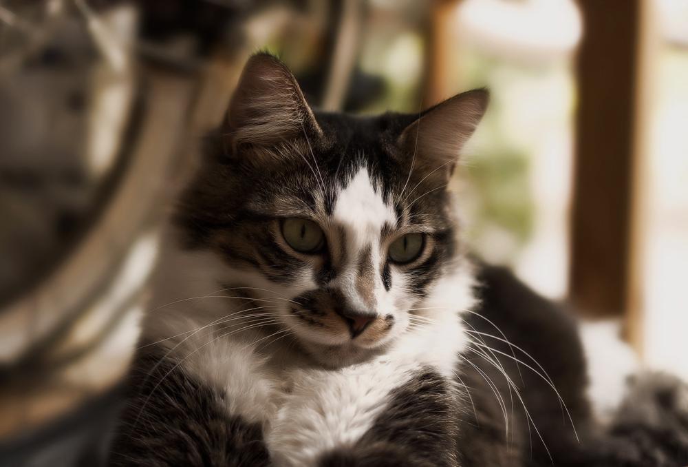 Имаверол для кошек: инструкция по применению