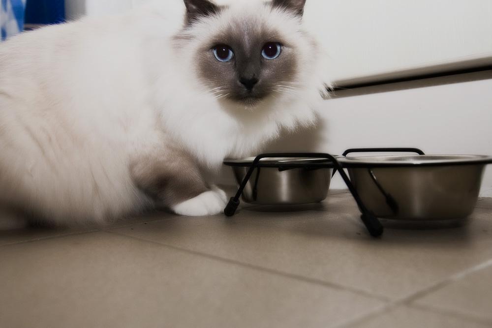 Как выбрать лучший сухой или влажный корм для кошек?