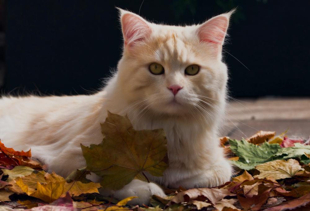 Что такое кошачий грипп и как его лечить