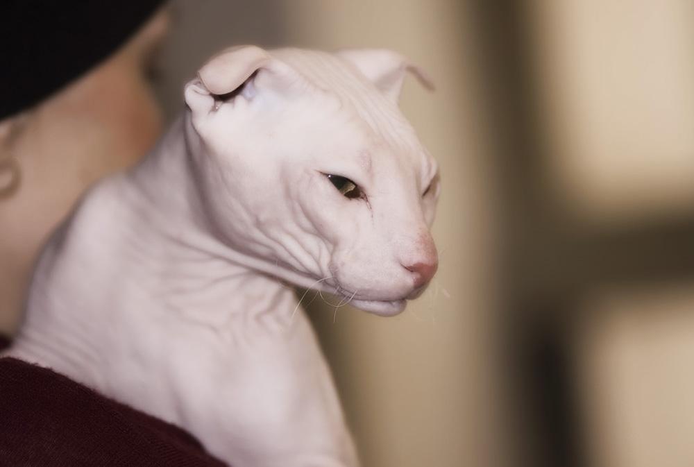 Лысые кошки: все бесшерстные породы