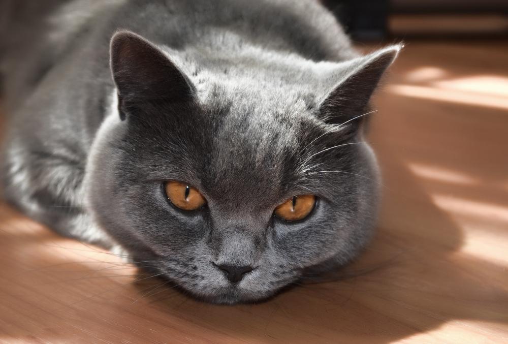 Препарат Ренал Эдвансед для кошек