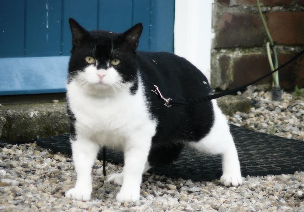 Шлейка для кошки: особенности выбора и приучения