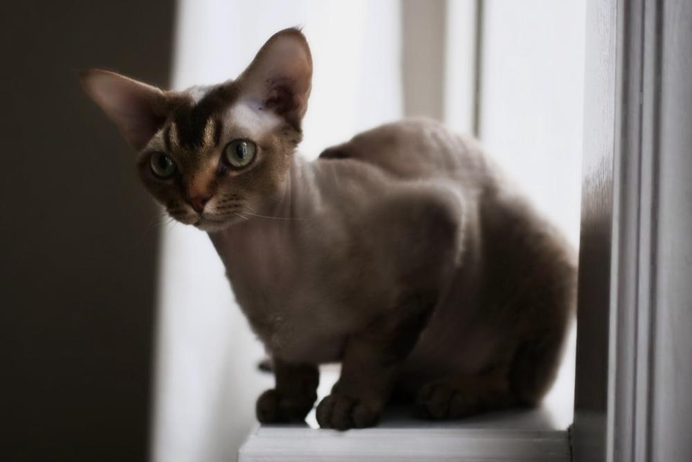 Самый маленький кот в мире и породы миниатюрных кошек