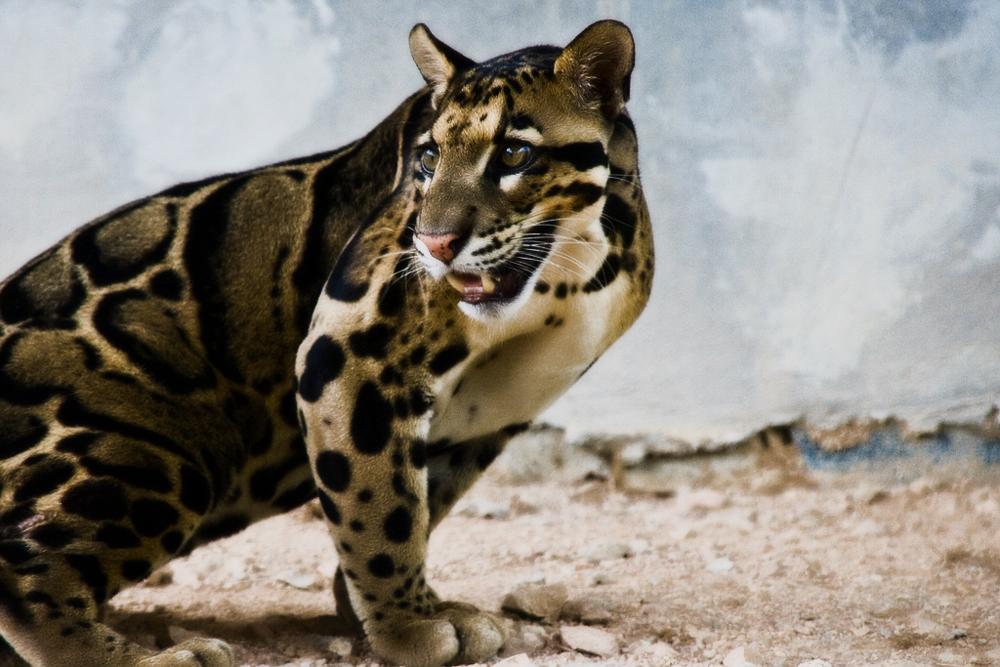 http://catspaw.ru/wp-content/uploads/2017/02/Dikie_koshki_NekoSam_dyimchatyiy_leopard.jpg