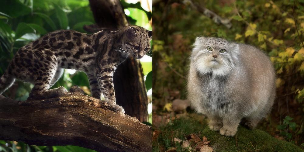 Дикие кошки и места их обитания