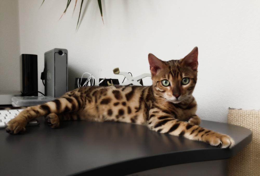 Самые умные породы кошек - ТОП-10