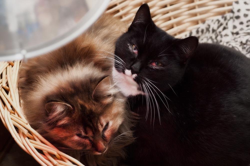 Герпесвирусная инфекция у кошек: чем опасна и как устранить