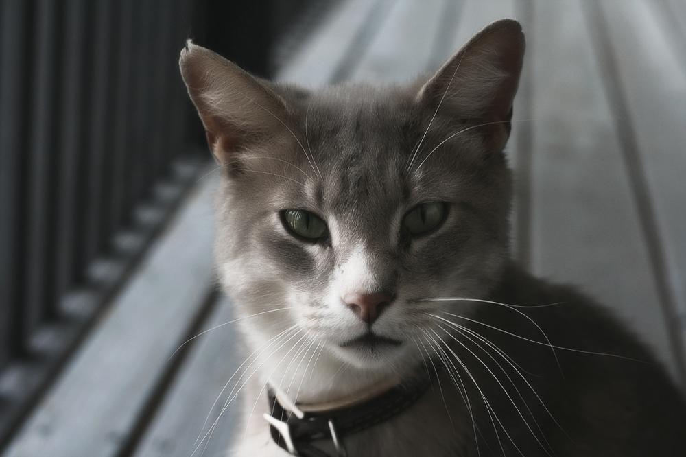 Можно ли выводить домашних котов на улицу