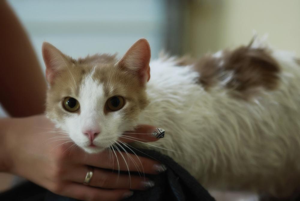 Как вывести блох у кота в домашних условиях?