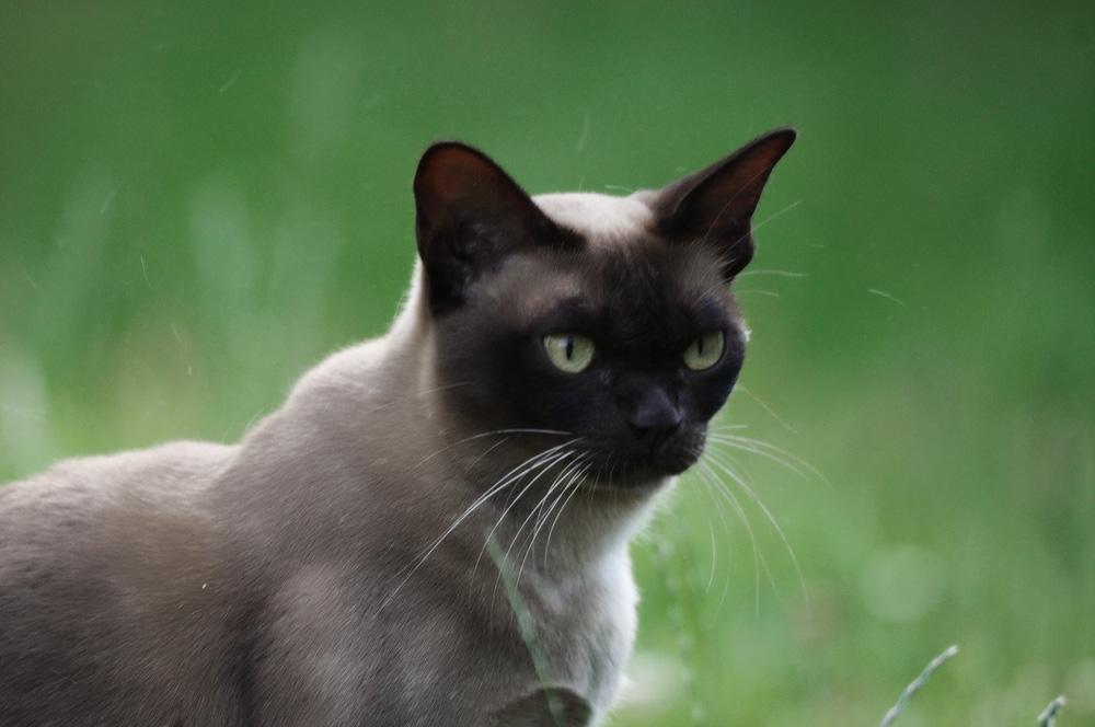 Короткошерстные породы кошек и их особенности