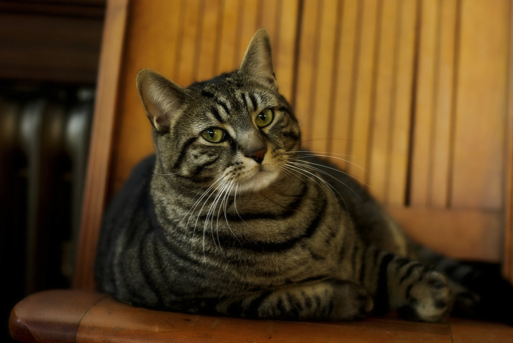 Как понять кошачий язык?