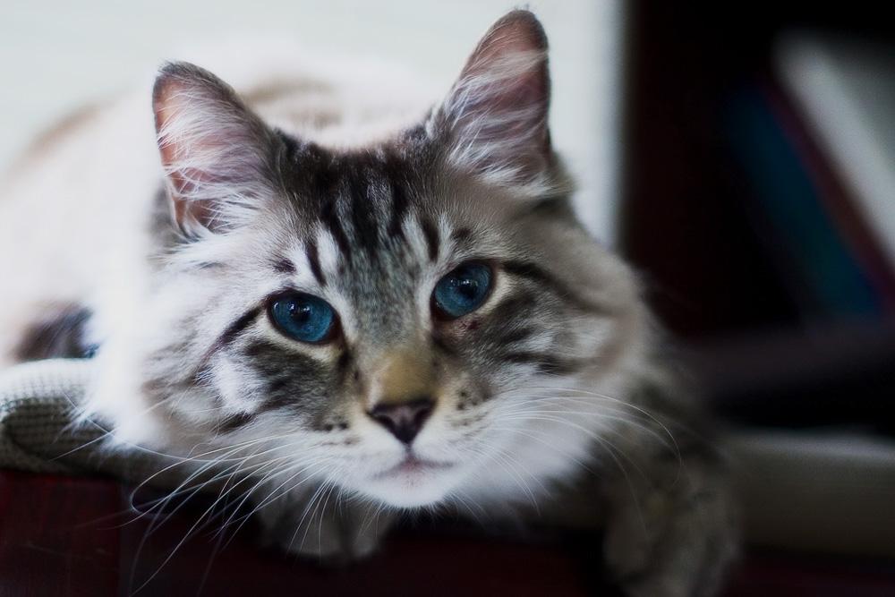 Кошка рагамаффин