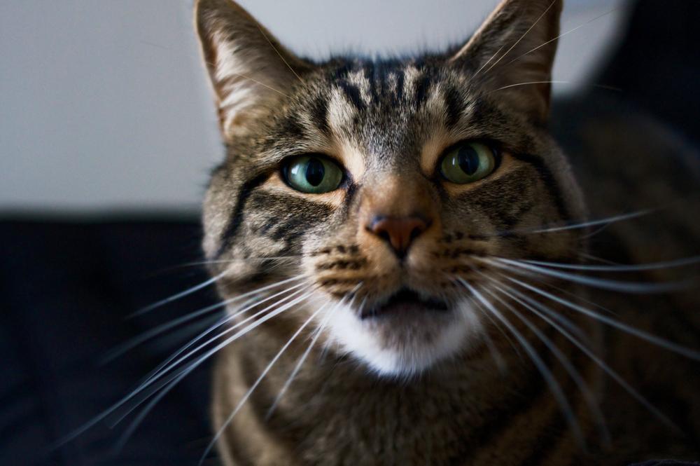 Может ли кошка заразиться гриппом от человека?