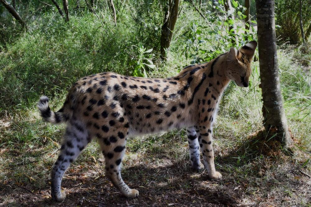 Африканская кошка сервал