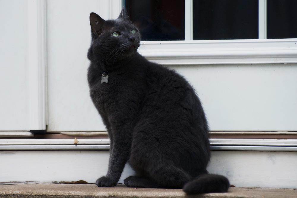 Серый кот - виды и особенности окраса